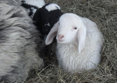 Schaf Lämmchen