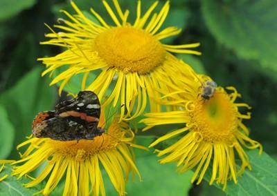 Schmetterling-und-Biene