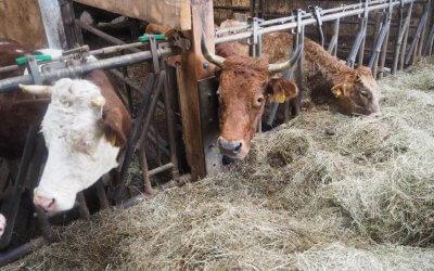 Rinder in Winterpension