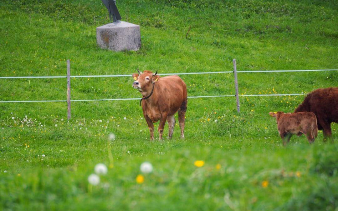 Unsere Kühe sind wieder da