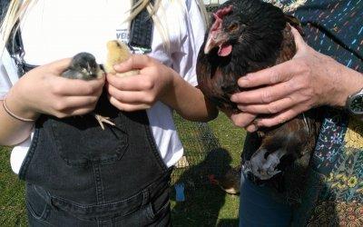 Nachwuchs bei unseren Hofhühnern