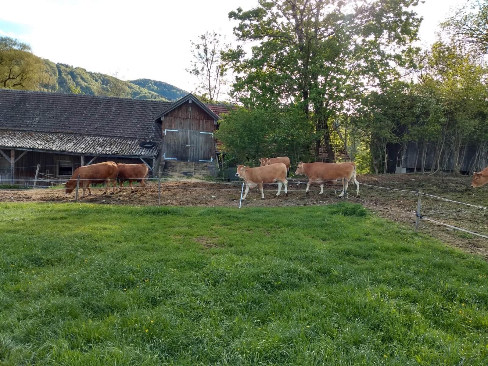 Kühe am Stall