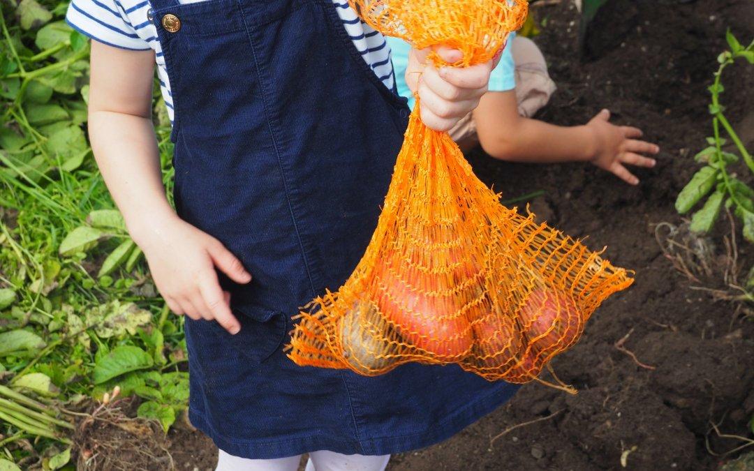 Kartoffelernte mit dem Kindergarten