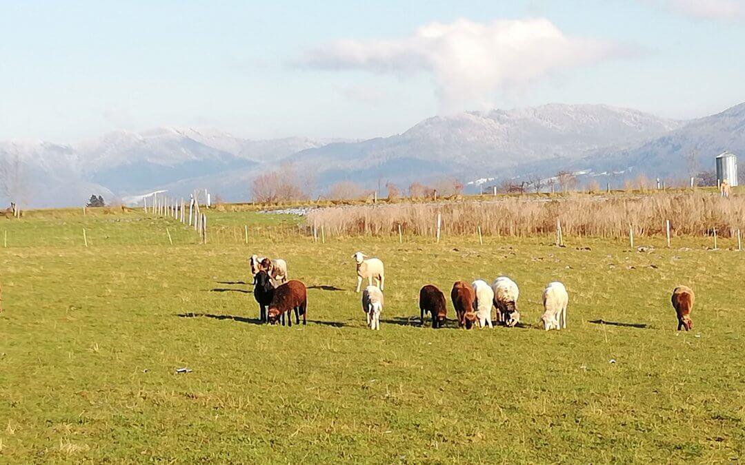 Schafstagebuch Anfang Dezember