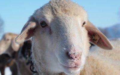 Schafstagebuch Februar