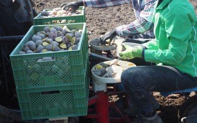 Kartoffeln setzen