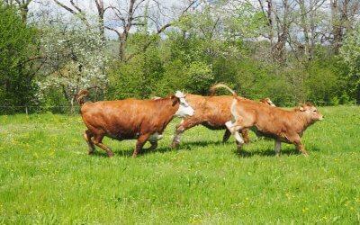 Rinderfrühling